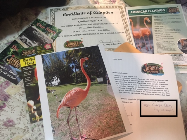 Introducing Kazi – My adopted flamingo from Sarasota Jungle Gardens